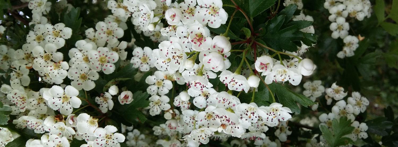 27 Meidoorn in bloei