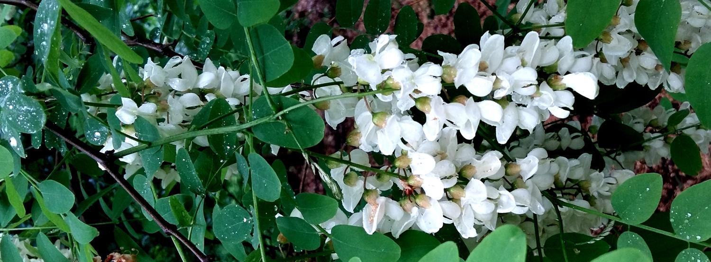 28 Robinia bloeiwijze